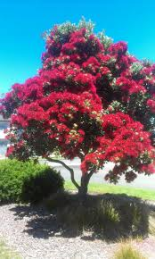 Christmas Tree Species Nz by 23 Best Drought Tolerant Trees Images On Pinterest Flowering