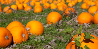 Best Pumpkin Patches In Cincinnati by 16 Great Places For Pumpkin Picking At The Shore