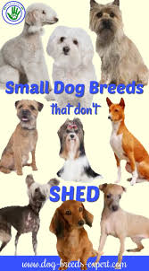 Large Non Shedding Dogs List by 29 Small Non Shedding Dog Breeds