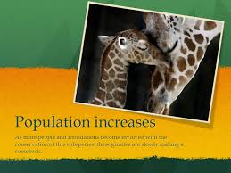 4 Population Increases As More People And Foundations Become Involved With The Conservation Of This Subspecies These Giraffes Are Slowly Making A Comeback