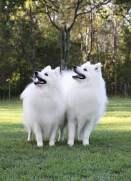 List Of Dogs That Shed A Lot by Caring For Your Japanese Spitz Shanspitz Japanese Spitz