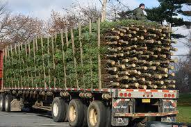 Longest Lasting Christmas Tree by Niemeyer Landscaping The Christmas Tree Which Is The Freshest
