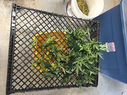 Sterilite Storage Cabinet Grow by Archiweedies First Grow Soil Led Super Lemon Haze 2017