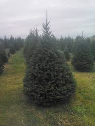 Canaan Fir Christmas Tree Needle Retention by The Trees Sickels Tree Farm Lynn In