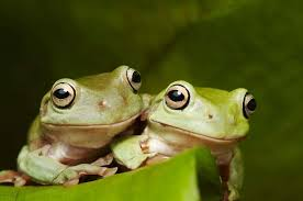 Do Aquatic Dwarf Frogs Shed Their Skin by Green Tree Frog Habitat Diet U0026 Reproduction Sydney