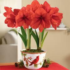 amaryllis bulbs flower bulbs buy from ankur