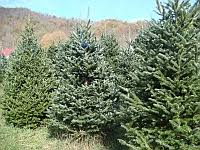 Christmas Tree Has Aphids by Focus On Aphid Control Nc State Extension