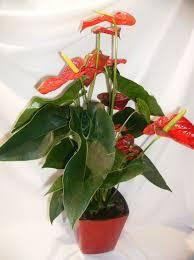 plante de bureau plante verte à fleurs pour bureau ou pour cadeau