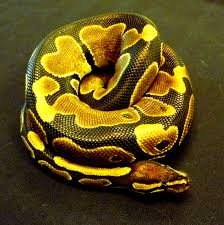 Ball Python Shedding Signs by How Do I Care For My Ball Python U2013 How Can We Help You