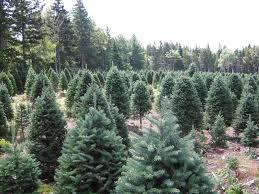 Tannenbaum Christmas Tree Farm Michigan by Co Horts O U0027 Christmas Tree O U0027 Christmas Tree U2026how Are You Grown