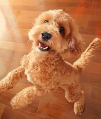 149 best cockapoos images on pinterest dogs cavapoo and