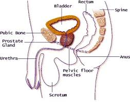 Muscles Of The Pelvic Floor Male by The Pelvic Floor Do You Know Enough Article U2014 Nzihf