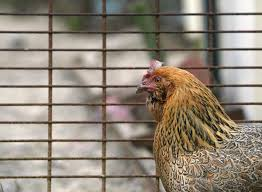 More Salmonella Cases Tied To Backyard Chickens, Ducks - CBS News The 25 Best Salmonella Symptoms Ideas On Pinterest Memes True Pharmacologist Warns That Eggs From Backyard Chickens Pose Chicken Chick Salpingitis Lash Eggs In Backyard Chickens Raising Chickenswhat You Need To Know Penn State Food Safety Blog And The Higher Risk Health Concerns When Tending Tahoetruckee Nationwide Salmonella Outbreak Linked Pet Makes 611 Sick Nbc News Outbreaks 47 States How Not Get Your Chicken