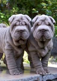 Do Shar Peis Shed A Lot by 17 Oldest Dog Breed In The World Exotic Inside Shar Pei Dog