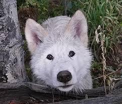 Spirit Halloween Jobs Colorado Springs by Colorado Wolf And Wildlife Center Home