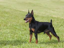 do miniature pinscher mix shed miniature breeds are they for you