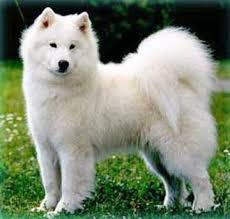 Non Shedding Hypoallergenic Dogs by Great Debate Are Samoyeds Really Hypoallergenic