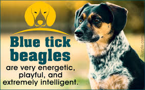 Dogs That Shed Minimally by Facts About The Blue Tick Beagle A Rather Rare Dog Breed