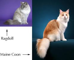 forest cat vs maine coon comparing the ragdoll and maine coon maine coon