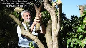 Pruning Citrus. Burke's Backyard How To - YouTube Judith Durham Beverly Sheehan Burkes Backyard 1995 Youtube Diy Escapes American Design And Photo On Astounding Closing Sequence 1990 A Current Affair Tonight Is Back Dons Tips Chainsaws Crepe Myrtles Gtv9 24591 Rhys On Patreon Gardenias Backyards Awesome Advertisements 11 Apple Trees Jun 2009 Paal Grant Designs In Landscaping Don Burke Olympic Swimmer Susie Oneill Joins Flood Of