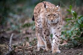 cat on lynx escapes wales zoo