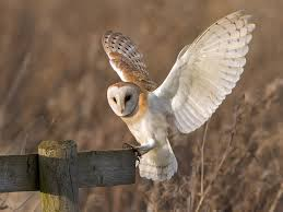 Barn Owl - Tyto Alba | To See A Wider Range Of Images. Pleas… | Flickr Barn Owl United Kingdom Eurasian Eagleowl Wallpaper Studio 10 Tens Of Barn Owl Wallpapers And Backgrounds Pictures 72 Images By Faezza On Deviantart Bird Falconry One Animal Closeup Free Image Snowy Hd 78 Sits Pole Wooden Dove Birds Images Hd 169 High Wallpaper 1680x1050 11554 Free Backgrounds At Wildlife Monodomo 2 One Online 4k Desktop For Ultra Tv Wide
