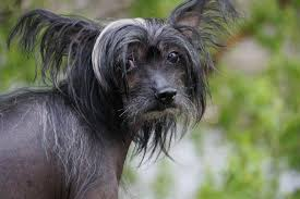 Top Dogs That Dont Shed Hair by Top 13 Dogs That Don U0027t Shed Bet You Haven U0027t Considered 7