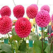 dahlia bulbs dahlia flower mixed colors dahlias seeds for diy home
