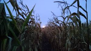 Toms Pumpkin Farm by Corn Maze