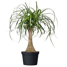 Pot Plants For The Bathroom by Beaucarnea Recurvata Potted Plant Ikea