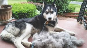 do huskies shed caution the truth can hurt