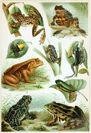 100 King Of The Frogs Frog Wikipedia