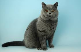 shorthair cat price top 14 amazingly beautiful cat breeds in the world beautiful