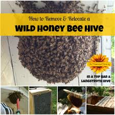 How To Remove And Relocate A Wild Honey Bee Hive (Video) Bkeeping For Beginners Pt1 Video On How To Build A Top Bar Hive Feeder Set Up Behind Follower Board In Bkeeper Top Bar Hive Melissas Honey Bees Epic Beehive Swarm Trap Youtube How Transfer Brood Comb From Langstroth Frames New 200 Hives The Lowcost Sustainable Way A Bee Keeping Make Favorite Sewisabel Backyardhive And Bkeeeping Supplies Sale To Install Package Beverly Getting Started Your First Year As Beehive By Eco Box Eco Bee Box Modern