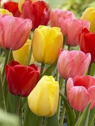 mixed darwin hybrid tulip bulbs bulk buy