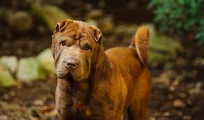 Do Shar Pei Lab Mix Shed by Chinese Shar Pei Dog Breed Information