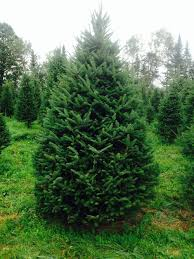 Balsam Christmas Trees by Wholesale U2014 Cedar Grove Christmas Trees