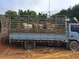 100 Cow Truck On A Jail In Livestock Market At Subburb In Thailand