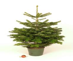 Christmas Trees Types Uk by Potted Christmas Trees Best Images Collections Hd For Gadget