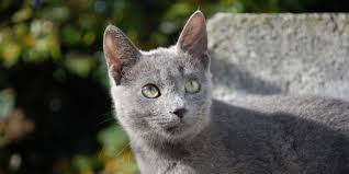 russian cat names russian blue information characteristics facts names