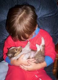 Loving that baby Shetland SheepdogSheltieCollieBeautiful