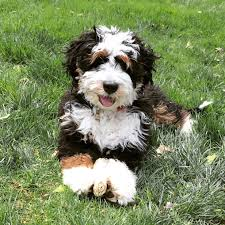 Do Miniature Aussiedoodle Shed by Leroy Is A Mini Bernedoodle Puppy From Hackman U0027s Miniature