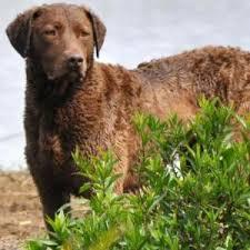 Chesapeake Bay Retriever Molting by Chesapeake Bay Retriever Dog Breed Information Chesapeake Bay