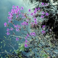 Hydrangea Macrophylla Baroque Angel PBR H Black Diamonds Series