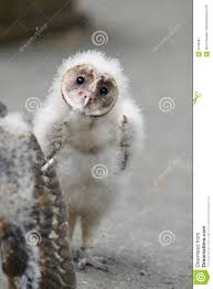 Baby Barn Owl Stock Image. Image Of Small, Young, Looking - 3249391 Barn Owl Focus On Cservation Best 25 Baby Ideas On Pinterest Beautiful Owls Barn Steal The Show As Day Turns To Night At Heartwood Family Ties Owl Chicks Let Their Hungry Siblings Eat First The Perch Uncommon Banchi Baby Coastal Home Giftware From Horizon Stock Image Image Of Small Young Looking 3249391 You Know Birdnote Banding By Alex Lamoreaux Nemesis Bird