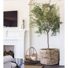 geht der olivenbaum auf unserer schattigen terrasse