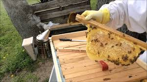 Spring 2016 Top Bar Hive Inspection Of Becca's Bees Part 3 - May ... Top Bar Hive Honey Harvest By Jon Peters Youtube Bees In Ca Bkeeping With Les Crowder How To Straighten Top Bar Combs Queen Victoria Sept 18 Nuc Install Equipment Decisions Kenyan Part 1 Browns Dtown April 2013 Natural Topbar Bkeeping Lesson Learning From The Master Hives Swarm After 6 Weeks Lindas June 2012 Beehive Update May 2015
