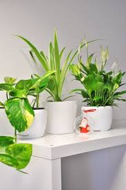 badezimmer mix 3 pflanzen grünlilie friedenslilie u efeutute
