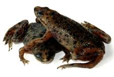 Should African Dwarf Frogs Shed by African Dwarf Frogs Com Home