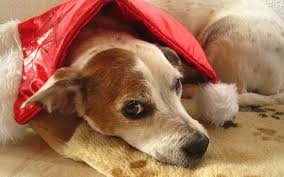 Rat Terrier Excessive Shedding by Tired Of Excessive Shedding Try Adding This One Ingredient To